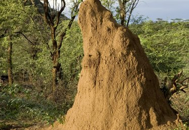 How Far Do Termites Travel to Feed?