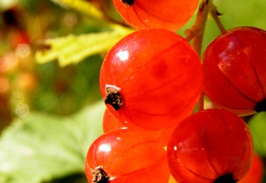 How to Grow a Red Currant Bush