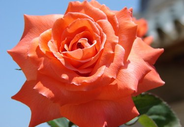 About Pinata Climbing Rose