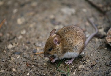 How to Get Rid of Mice Under Floorboards