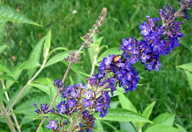 What Is Eating My Butterfly Bush?