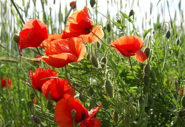 When to Harvest Poppy Seeds