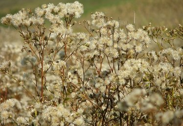 How to Kill Russian Thistle