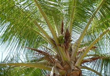 Fertilizer for Coconut Trees