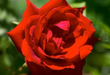 How to Plant Don Juan Climbing Roses