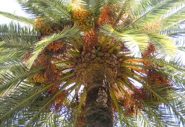Diseases for the Pygmy Date Palm