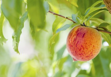Types of Peach Trees