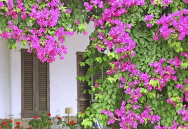 How to Prune Bougainvillea