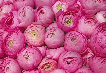 How to Force Peonies to Open