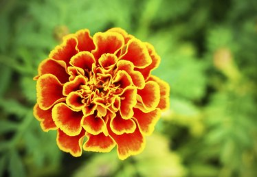 Marigold Flower Information