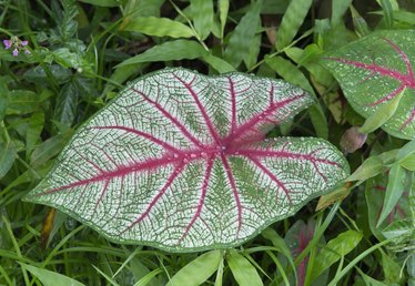 How to Overwinter Caladium Bulbs