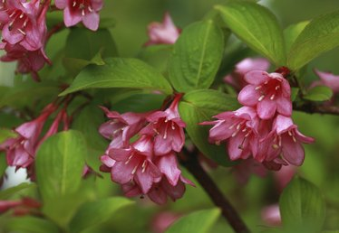 How to Care for a Weigela Bush
