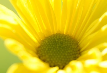 How to Troubleshoot the Euryops Daisy
