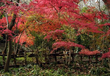 What to Plant With Japanese Maples