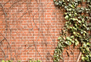 How to Remove Oxidized Ivy Suckers on Brick