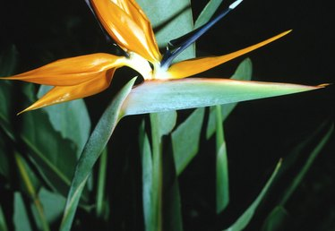 How to Repair Bird of Paradise Leaves