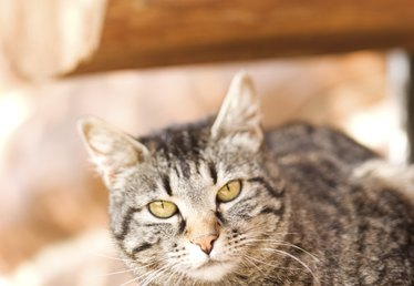 Surgery for an Undescended Testicle in Male Cats