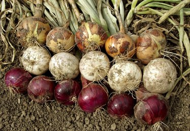 How to Plant Bulb Onions in the Vegetable Garden