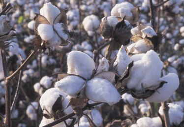 When Is the Cotton Harvest in Texas?