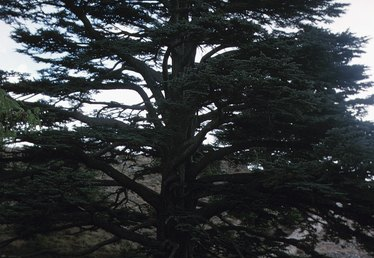 The Disease of a Cedar Tree Dying From the Top Down