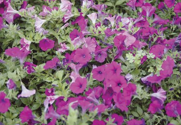How to Get Rid of Mites on Petunias Organically