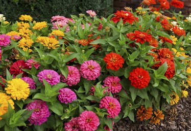 How to Harvest Zinnia Seed for Next Spring