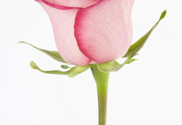 How Long Until a Rosebud Becomes a Rose?