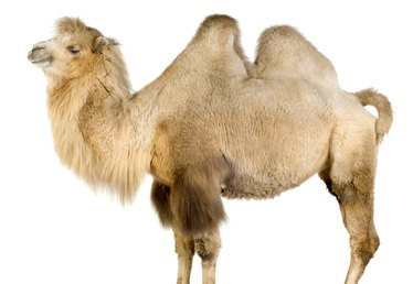 How to Make a Camel Costume
