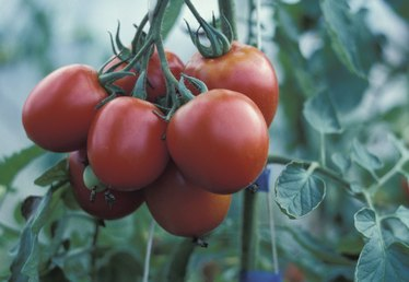 A Home Remedy for Tomato Blossom Rot