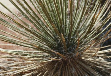 How to Care for a Yucca Plant With Fungus
