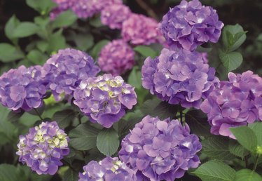 How to Care for Hydrangea Shrubs
