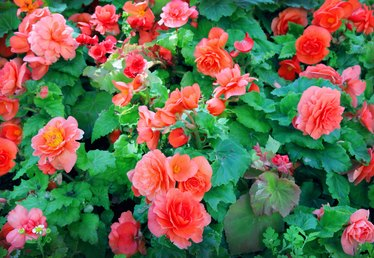 How to Grow Angel Wing Begonias