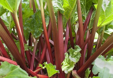 When Should You Pick Rhubarb?