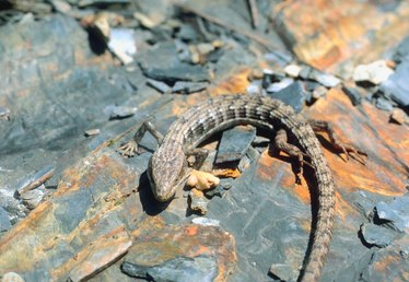 How to Get Rid of Alligator Lizards