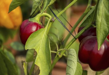 What Soil pH Do Pepper Plants Grow Best In?