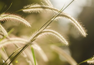 How to Identify Foxtail Grass