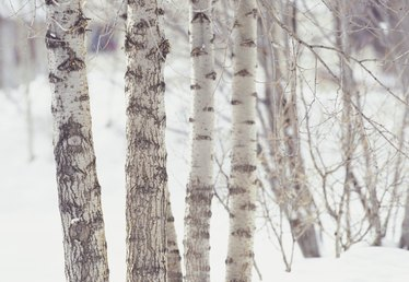 How to Paint Birch Trees With Acrylic Paint