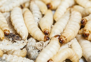 How to Control Root Maggots
