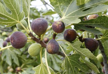 Fig Tree Diseases