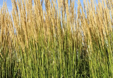 How to Plant Karl Foerster Ornamental Grass