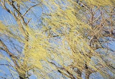 Does the Weeping Willow Tree Lose Its Leaves During the Winter?