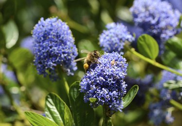 How to Prune Ceanothus