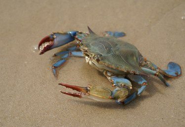 When Are Maryland Blue Crabs in Season?