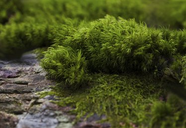 How to Grow Irish or Scotch Moss (Sagina Subulata)