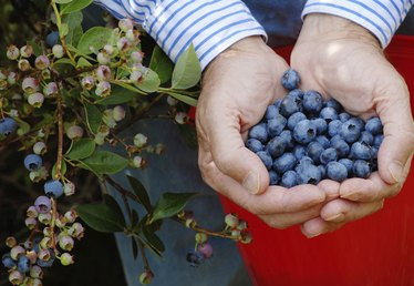 How to Grow Blueberries in Wisconsin
