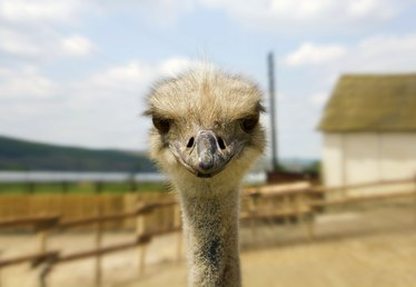 How to Start an Ostrich Farming Business