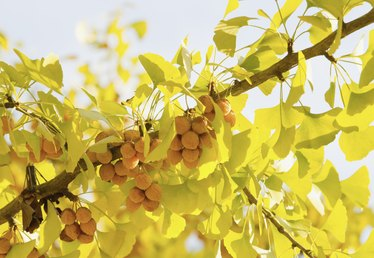How to Grow a Ginkgo Biloba Tree From a Seed