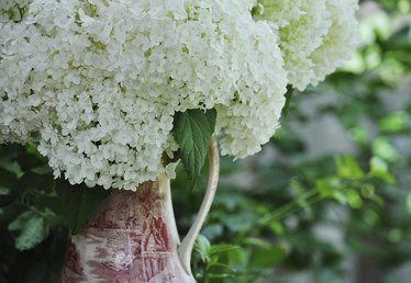 How to Prune a Hydrangea 'Annabelle'