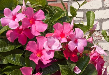 Are Mandevilla Flowers Toxic?