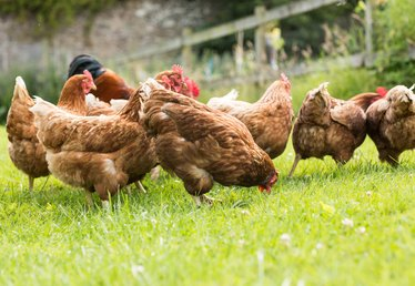 How to Start a Chicken Farm Business